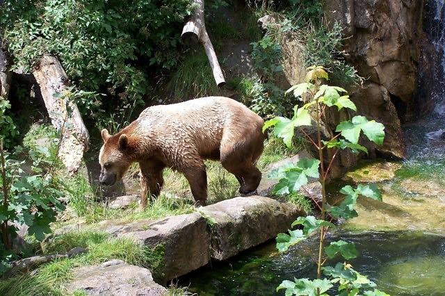 Een bruine beer in de Alpenzoo