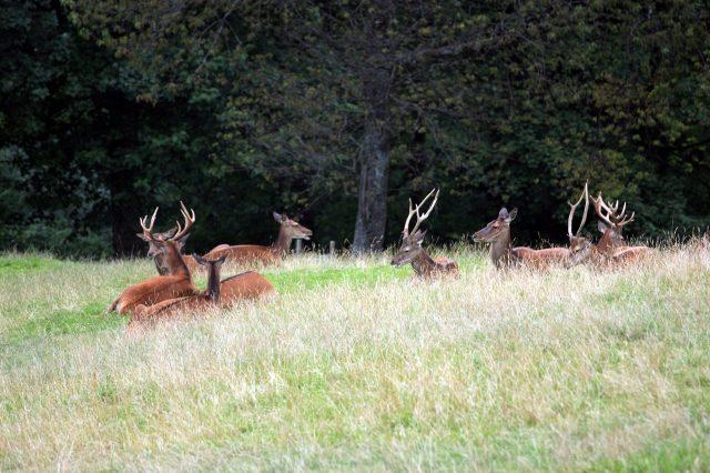 Edelherten in het Alpenwildpark